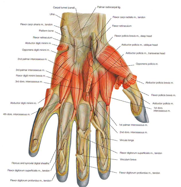 hand diagram nerve damage arash recovery
